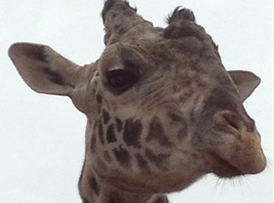 giraffe_safariwest_400