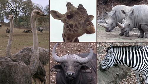 See cheetahs, rhinos, giraffes, ostriches, zebras, cape buffalos and more at Safari West!